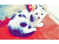 Very cute Kitten for sale...white and black..£45