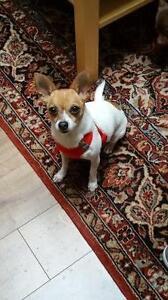 "Adult Female Dog - Chihuahua: ""Hailey"""