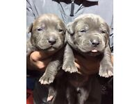 XL AMERICAN BULLY BLUE CHAMPAGNE TOP QUALITY SHOW DOGS