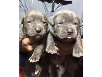 XL AMERICAN BULLYS BLUE CHAMPAGNE TOP QUALITY SHOW PUPS