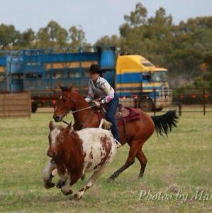 QUARTER HORSE GELDING  Q-59437 Busselton Busselton Area Preview