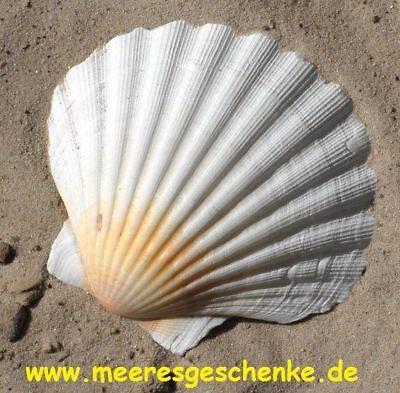 Echte Jacobsmuschel Pecten Jacobaeus weiß XXL ca. 12-13 x 11 cm
