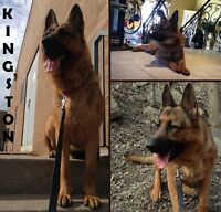 FOREVER HOME NEEDED FOR MAGNIFICENT KINGSTON