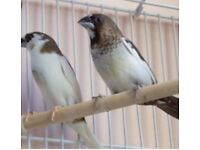 Bengelese finches
