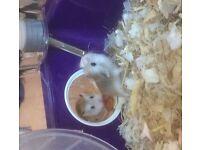 Baby Roborovski Hamsters - 5 weeks (3 left)
