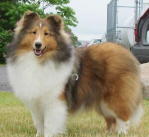 Lost sheltie - Lawrencetown, NS