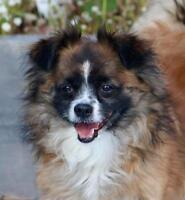 """Adult Male Dog - Papillon-Chihuahua: """"TOBY"""""""