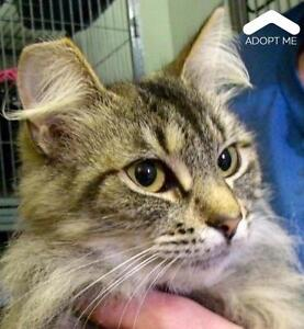 "Adult Female Cat - Domestic Medium Hair: ""Jersey"""