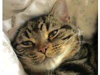 Missing tabby cat Durham Belmont Carrville