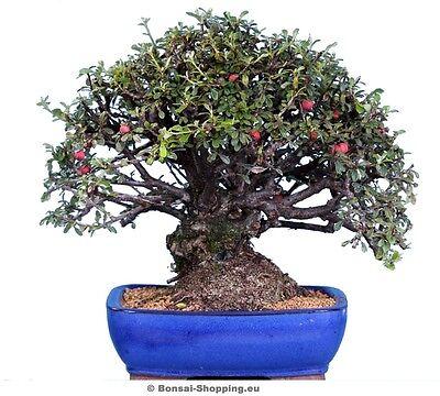 bonsai pflege cotoneaster spec zwergmispel ebay. Black Bedroom Furniture Sets. Home Design Ideas