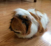 Guinea Pig (along with cage, pine shavings and food) For Sale