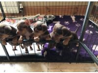 Mini Jack Russell pups (chocolate and tan)