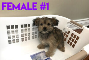 Chocolate Brown Shorkie Puppies - Non Shedding/Hypoallergenic