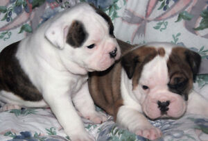 OLDE ENGLISH BULLDOGGE PUPPIES, ALL MALES