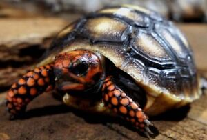 High red baby redfoot tortoises