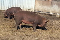 Red Wattle Pigs Purebred