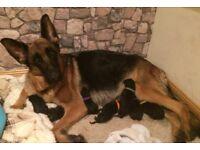 German Shepherd puppies for Sale, KC reg