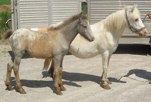 Pony mare & colt