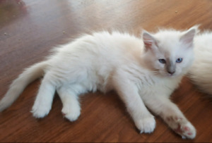 Lilac Mitted Male Ragdoll TICA kitten Netered
