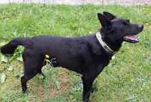 Loki - German Shepherd x needs a forever home Broadford Mitchell Area Preview