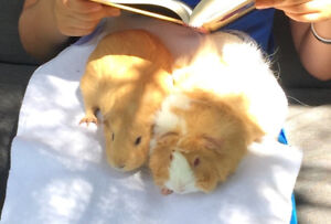 FREE Guinea Pigs and all the Supplies