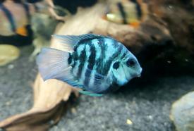 Parrot Fish Platinum and Polar Blue Rare