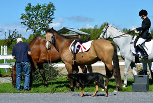 Wanted Show Jumping Horses