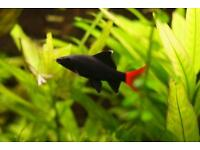 2 X red tail black shark for sale
