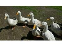 White Campbell Ducks for sale (guaranteed females)