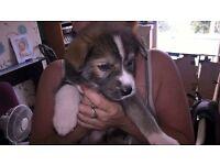 Husky X Labrador puppy