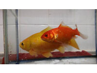 2 beautiful gold fish looking for a caring home