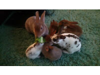 Baby Rex Rabbits(Free to good Home)