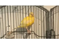 3 pair of border canaries