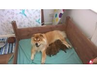 Chow Chow Puppies UK Bred