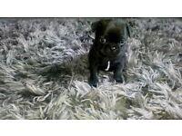 frug puppies last 3 2 black girls 1 brindle boy pug french bulldog