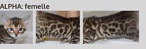 Bengal chatons brown