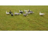 Muscovy ducks free to good home