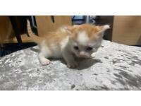 *** 1 male Kitten left for sale *** £150