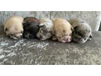 Puppy Merle French bulldogs
