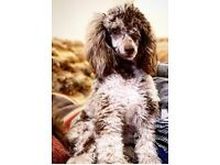Male Chocolate Merle & solid Chocolate toy poodle