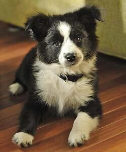 Looking for a Border Collie/Australian Shepherd Puppy