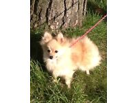 Tiny cream Pomeranian little girl for sale