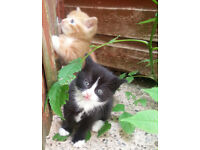 Playful and fluffy kittens - 1 Ginger & 1 B&W