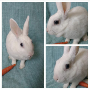Dainty dwarf rabbit looking for a loving family
