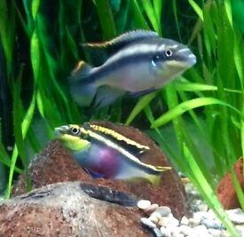 Kribensis peaceful community fish