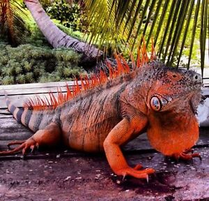 Looking to get an iguana, anything but green. Please contact