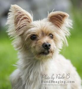 "Adult Female Dog - Maltese-Yorkshire Terrier Yorkie: ""Goldie"""