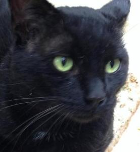 """Young Male Cat - Domestic Short Hair-black: """"O'Doull"""""""