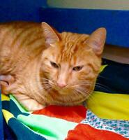"Adult Male Cat - Domestic Short Hair: ""Ruben"""