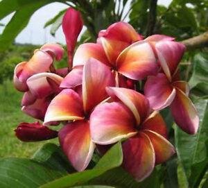 Plumeria-Lurline-50-seeds-Wonderful-blooms
